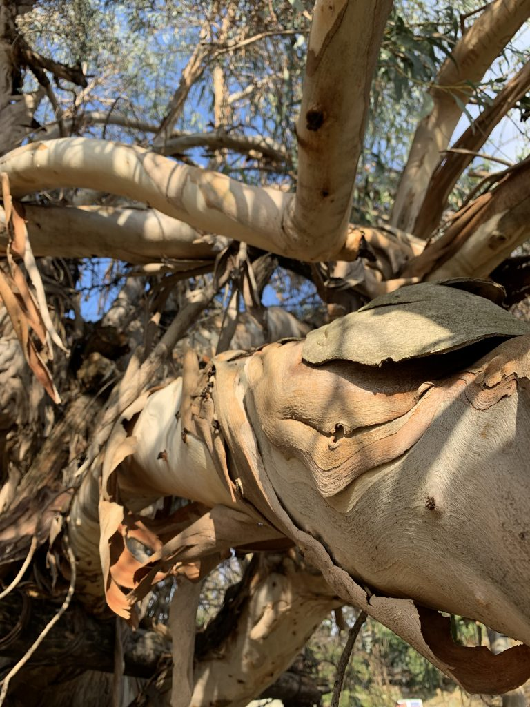 Eucalyptus tree branch with peeling bark