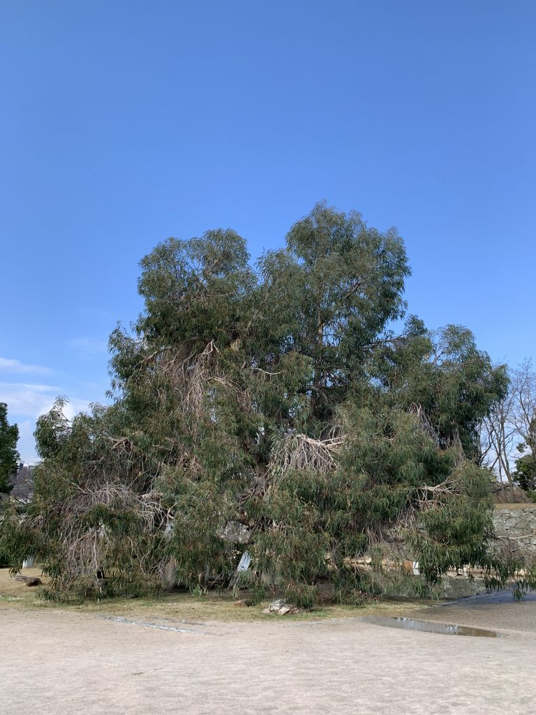 Eucalyptus tree that survived the explosion