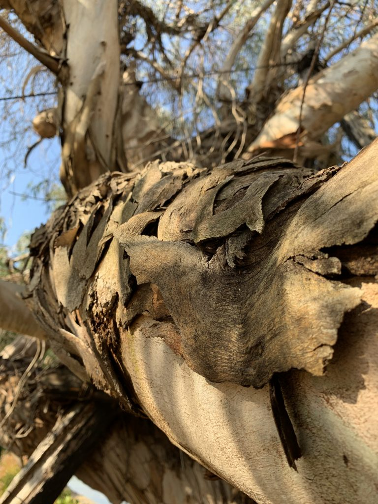 Bark peeling from a eucalyptus tree